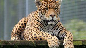 leopard_muzzle_big_cat_eyes